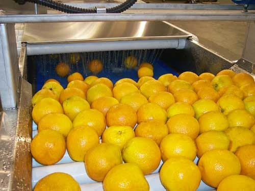 Roller Inspection Conveyor with Oranges